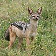 Ngorongoro_falcon_and_the_jackal_squint