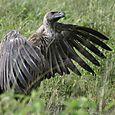 Serengeti_buzzard_sunning