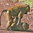 Ngorongoro_baboon_kid_fun