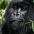 Mountain_gorilla_juvenile