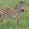 Ngorongoro_zebra_colt