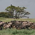 Serengeti_great_migration