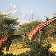 Borana_lodge_mount_kenya_giraffes