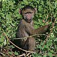 Ngorongoro_baboon_baby