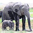Amboseli_elephant_mom