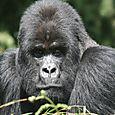 Mountain_gorilla_silverback