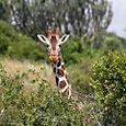 Borana_giraffe