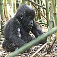 Mountain_gorilla_baby