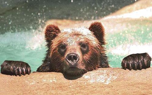 Bear-ambrose_1708913i