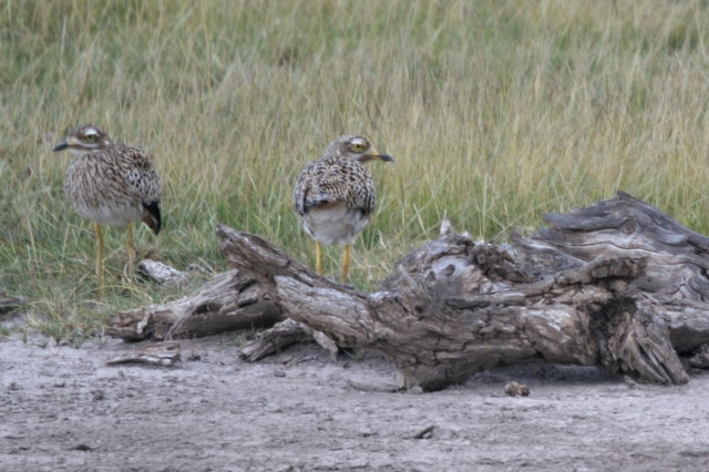 Amboseli_birds
