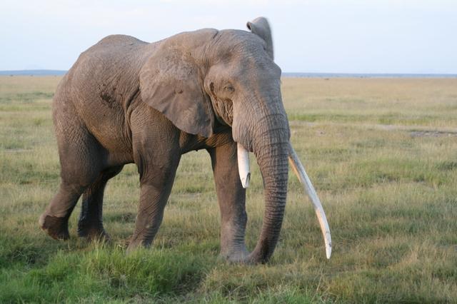 Amboseli_elephant_life_is_tusk_2