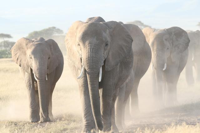 Amboseli_elephant_parade