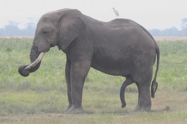 Amboseli_happy_elephant