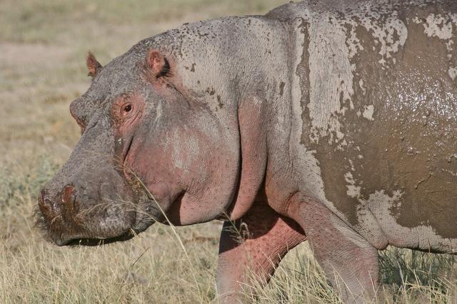 Amboseli_hungry_hungry_hippo_stare