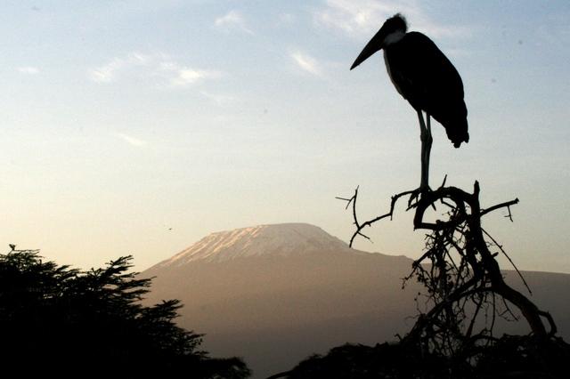 Amboseli_kilimanjaro_stork