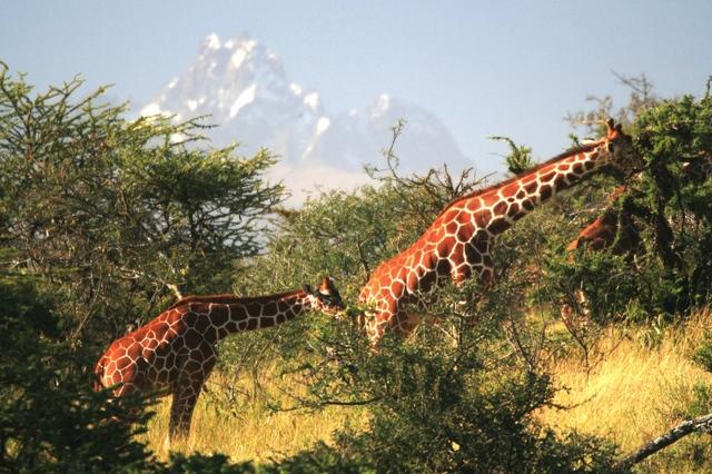 Borana_lodge_mount_kenya_giraffes