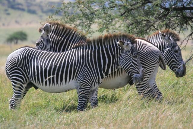 Borona_lodge_zebra_zebra