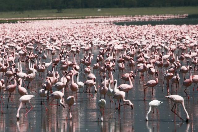 Lake_nakura_flamingos