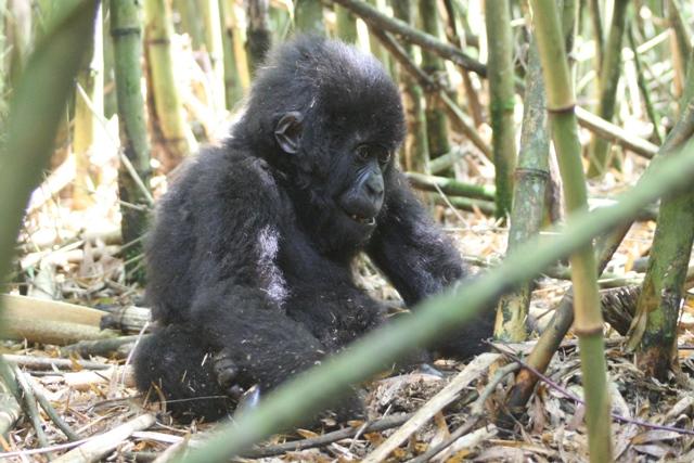Mountain_gorilla_baby