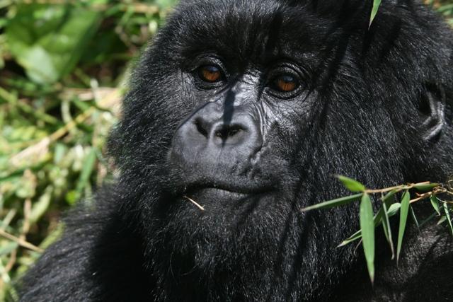 Mountain_gorilla_juvenile