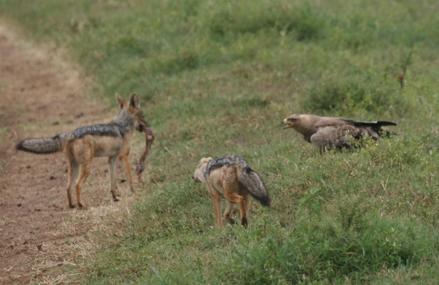Ngorongoro_falcon_and_the_jackals_taunt