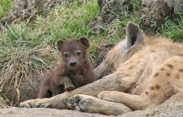 Ngorongoro_hyena_pup
