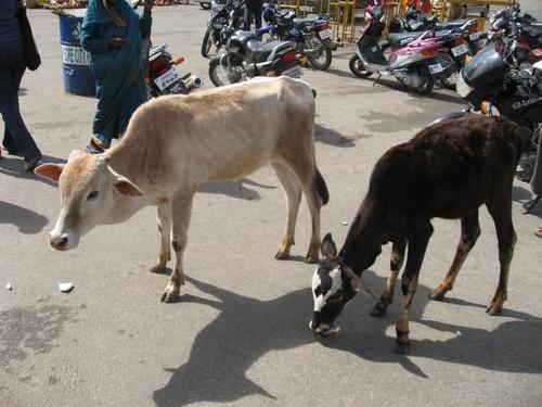Shri_chamundeshwari_temple_cows